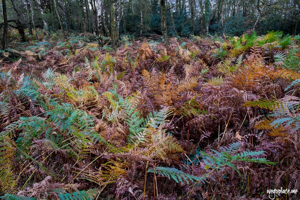 Autumnal ferns at Ashridge
