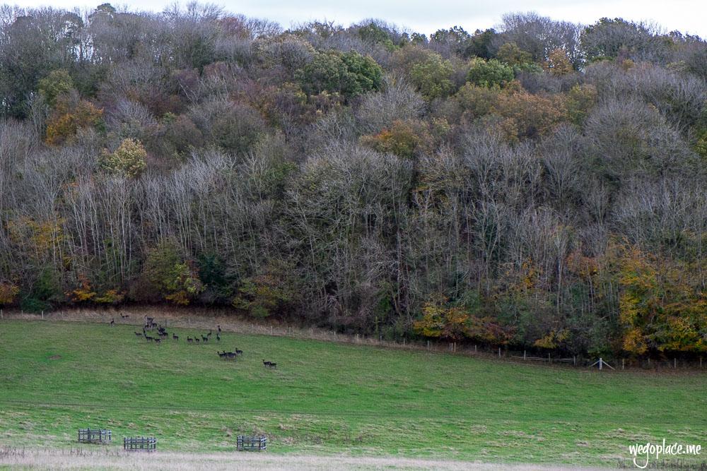 Fallow Deer at Ashridge Estate