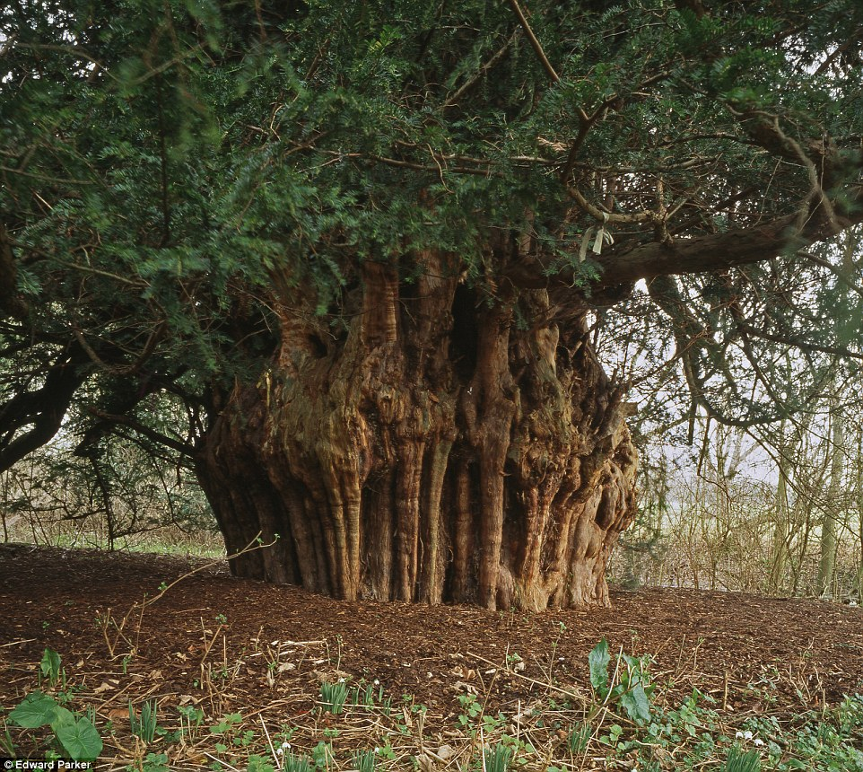Ankerwycke Yew Tree
