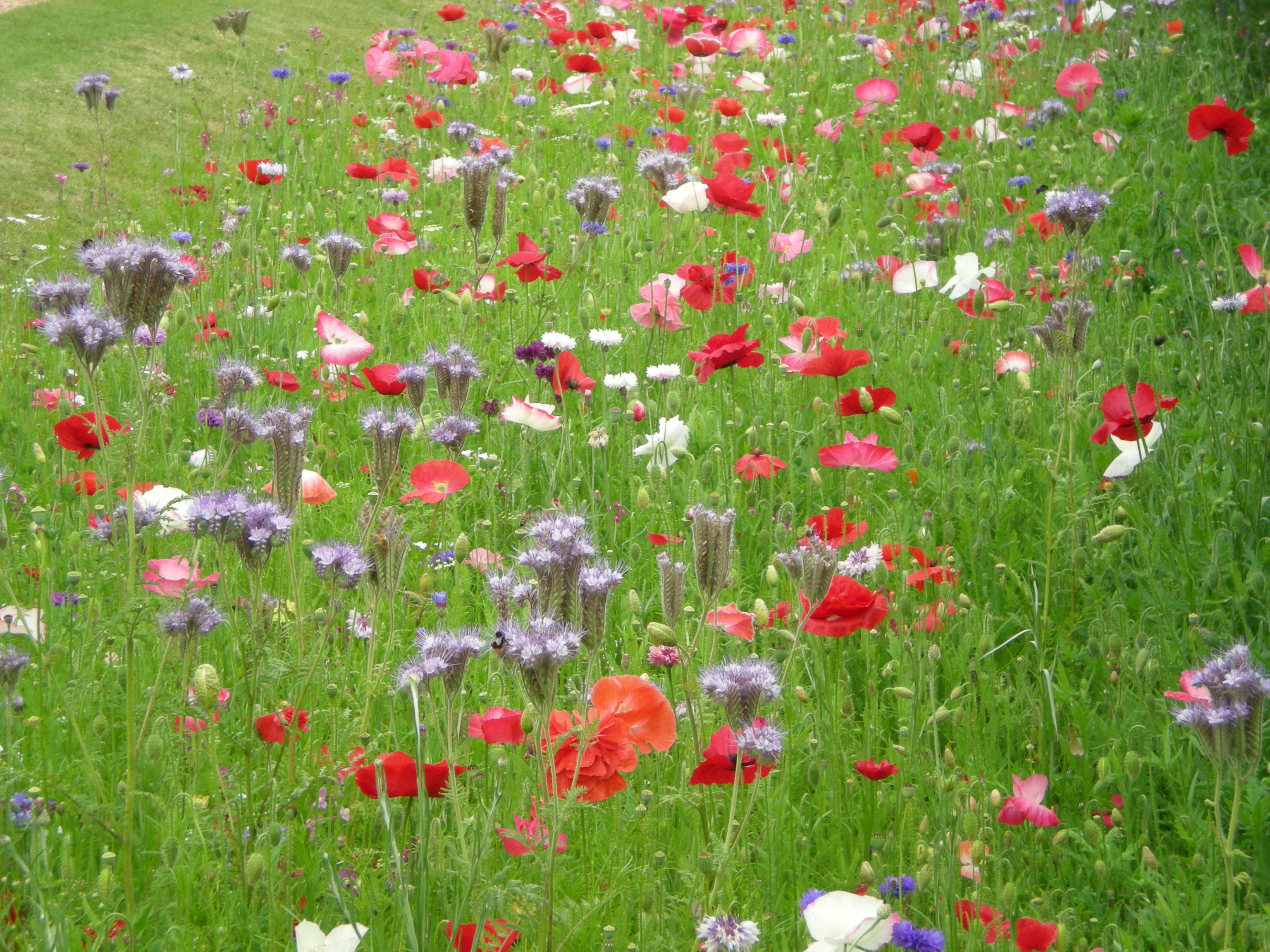 Meadow flowers at Polesdon Lacey Estate