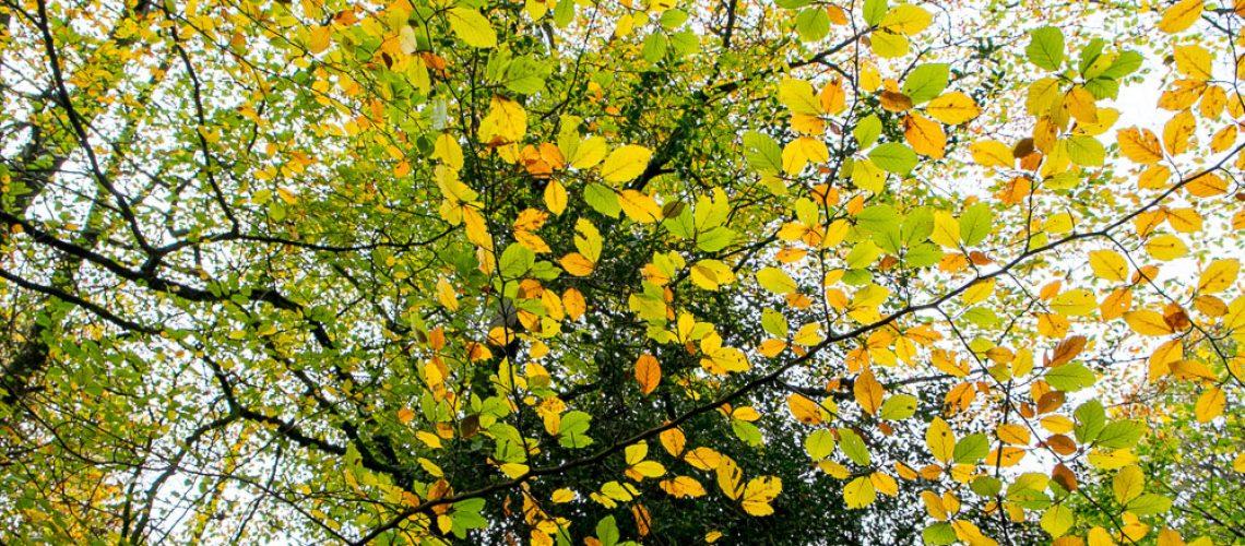Colourful Autumn Leaves at Ashridge Estate